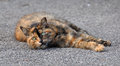 Multicolor cat portrait of an adult spotted the is lying on the pavement Stock Photo