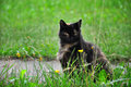 Multicolor cat portrait of an adult spotted a sits on a road near green lawn grass Stock Photo