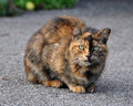 Multicolor cat portrait of an adult spotted the is sitting on the pavement Royalty Free Stock Photo