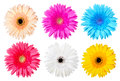 Multicolor gerber daisy isolated on white Royalty Free Stock Photography