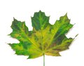 Multicolor maple leaf close up view on white background Royalty Free Stock Photos