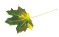 Multicolor maple leaf on white background Royalty Free Stock Photo