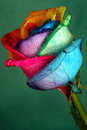 Multicolor rose Royalty Free Stock Image