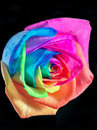 Multicolor rose Royalty Free Stock Photo