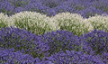 Multicolor rows of large lavender plants background many colorful purple and white Stock Photo