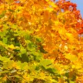 Multicolored autumnal maple leaves background Royalty Free Stock Photography