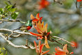 Multicolored bird in south africa greater double collared sunbird cinnyris afer small african Royalty Free Stock Image