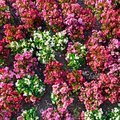 Multicolored fresh flowers on flowerbed. Floral background. Royalty Free Stock Photo