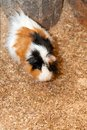 Multicolored guinea pigs sawdust Stock Images