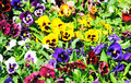 Multicolored pansies on the meadow Royalty Free Stock Photography