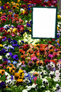 Multicolored pansies with sign Royalty Free Stock Image