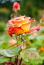 Multicolored rose flower Stock Photo