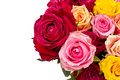 Multicolored roses background of flowers buds clipping path Royalty Free Stock Photo
