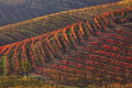 Multicolored vineyards at fall. Piedmont, Italy. Stock Photos