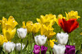 Multicolour tulips Royalty Free Stock Photo