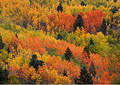 Multicored aspens Stock Images