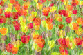 Multiple exposure tulip the background of tulips flowers with Royalty Free Stock Image