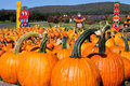 Multiple Large Pumpkins Stock Photo