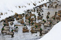 Multitude of ducks a large group swimming in a river in winter Royalty Free Stock Image