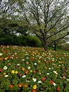 Colorful Hillside Poppies