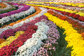 Mum chrysanthemum flower carpet Royalty Free Stock Photo