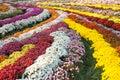 Mum chrysanthemum flower carpet of colorful stripes in city park Stock Photography