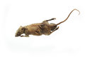 Mummified rat over white background with clipping path Royalty Free Stock Photos