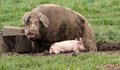 Mummy pig in muck wallows mud to provide sun protection her baby explores around her Royalty Free Stock Photo