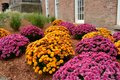 Mums colorful herald the approach of autumn Royalty Free Stock Photo