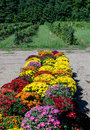 Mums and raspberry farm rows of potted are for sale along side a u pick field in rural michigan usa Stock Image