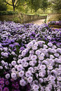 Mums and Walkway Royalty Free Stock Images