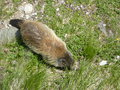 Murmeltiere in austria a marmot marmota marmota the grass of the alps Royalty Free Stock Photos