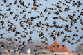 The murmurations of starlings at a dutch polder Stock Photos