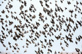 The murmurations of starlings in holland Stock Images