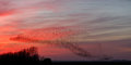 The murmurations of starlings in a sunset Stock Photo