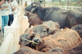 Murrah buffalo Royalty Free Stock Photo