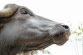 Murrah buffalo Royalty Free Stock Photo
