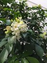 Murraya paniculata white small flowers Royalty Free Stock Photography