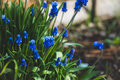 Muscari armeniacum Blue Grape Hyacinth blooming in the garden