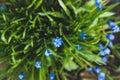 Muscari armeniacum Blue Grape Hyacinth blooming in the garden Royalty Free Stock Photo