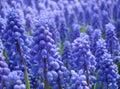Muscari armeniacum or grape hyacinth