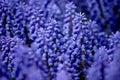 Muscari armeniacum or grape hyacinth Royalty Free Stock Photo
