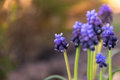 Muscari Armeniacum Or Grape Hy...