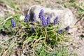 Muscari armeniacum botryoides or grape hyacinth Royalty Free Stock Photo