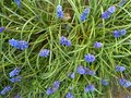 Grape Hyacinth -Muscari armeniacum - spikes of grape looking flowers Royalty Free Stock Photo
