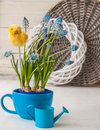 Muscari in blue cup on the window Stock Image