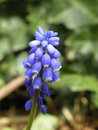 Muscari botryoides Stock Photography