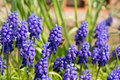 Muscari detail view of mill with bumblebee and grass Stock Image