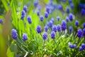 Muscari in evening light dark blue flowers Stock Photos