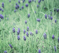 Muscari field early summer full of tiny armeniacum Royalty Free Stock Photo